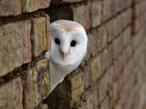 Lechuza en el hueco de una pared de ladrillos