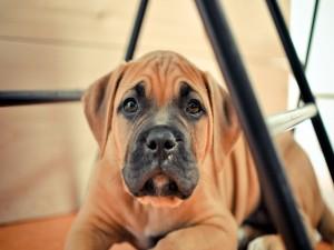 Perro marrón bajo una mesa