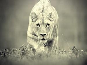 Leona de caza