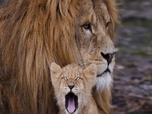 Cachorro de león bostezando junto a su padre