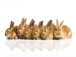 Conejos marrones