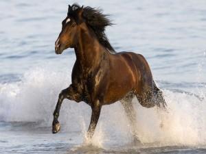 Caballo marrón corriendo sobre el agua