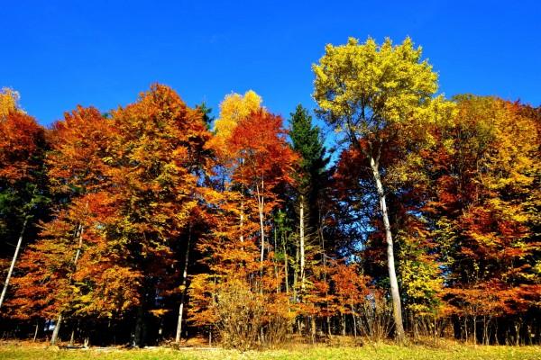 Grandes árboles otoñales a la entrada de un bosque