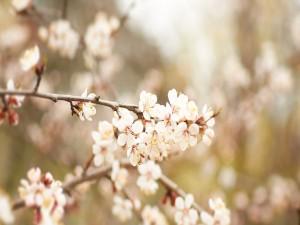 Ramas de cerezo en flor