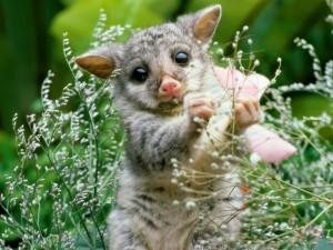 Un lémur ratón entre la hierba