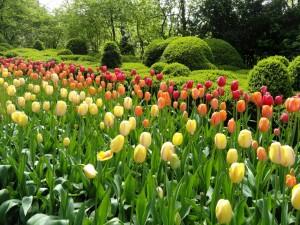 Jardín con arbustos y tulipanes