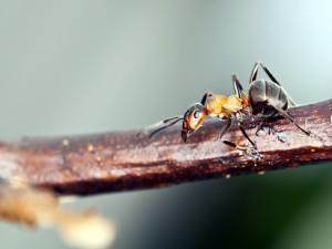 Hormiga caminando por una rama