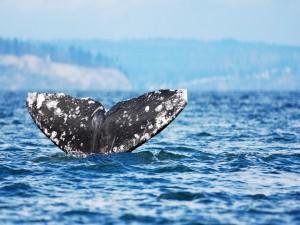 La cola de una gran ballena