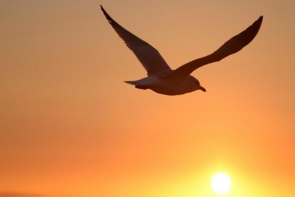 Gaviota volando al atardecer