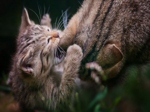 Gatito mordisqueando la oreja de su mamá
