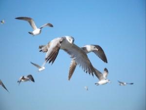 Grupo de aves marinas volando