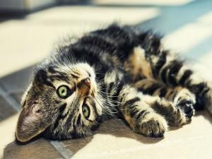 Gato de ojos verdes tumbado en el suelo
