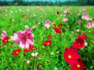 Flores rosas y rojas en un prado