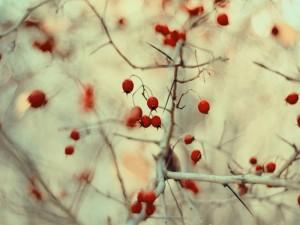 Bayas rojas en un árbol sin hojas