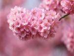 Hermosa rama de cerezo en flor