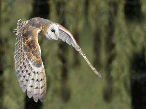 Lechuza común volando