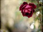 Una hermosa rosa de color rojo