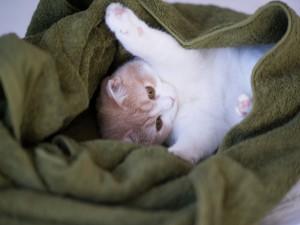 Gatito entre una toalla