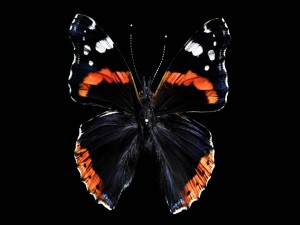 Gran mariposa en un fondo negro