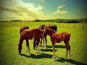 Caballos comiendo hierba