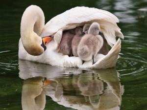 Cisne cobijando a sus polluelos entre sus alas