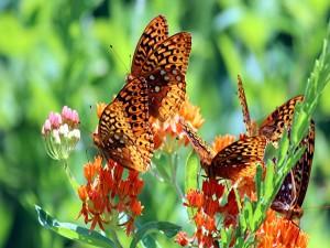 Varias mariposas en unas flores naranjas