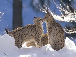 Linces jugando en la nieve