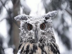 Nieve sobre la cabeza de un búho