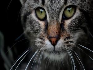La mirada de un gran gato