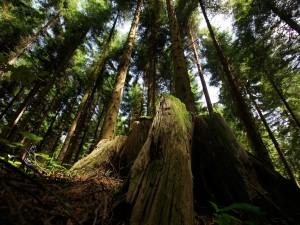 Grandes pinos en un bosque