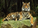 Cachorro de tigre junto a su mamá