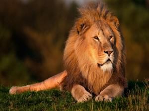Gran león tumbado sobre la hierba