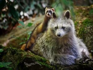 Amistad entre un mapache y un hurón