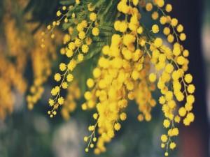 Ramas con hermosas mimosas