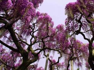 Flores de glicina en primavera
