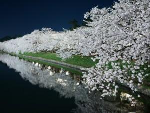 Árboles en flor reflejados en la noche