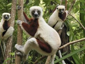 Lémures colgados de unos árboles