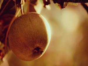 Manzana madura en el árbol