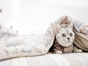Gato bajo el edredón