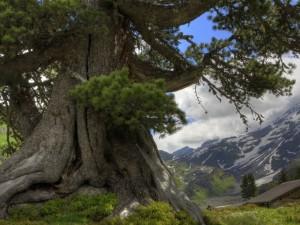 Pino de tronco grueso a los pies de unas montañas nevadas