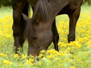 Caballo comiendo hierbas y flores amarillas