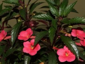 Arbusto con flores de campanilla rosadas