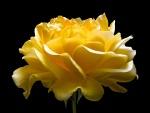 Una gran rosa amarilla en fondo negro