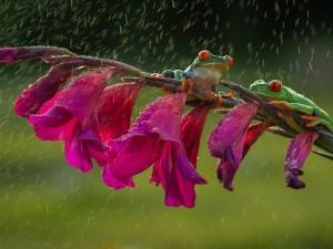 Ranas sentadas bajo la lluvia en una rama con flores fucsias