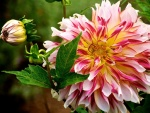 Magnífica dalia rosa y blanca en un jardín