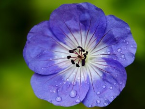 Flor de geranio con gotitas de agua