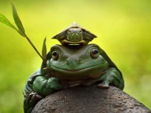 Sapo con una tortuga en su cabeza