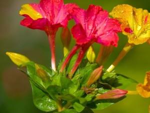 Mirabilis jalapa rojas y amarillas con gotitas de rocío