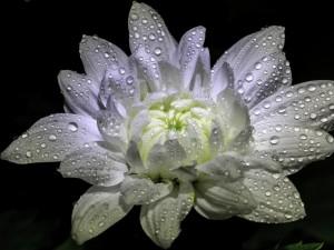 Flor blanca con gotas de agua sobre un fondo negro