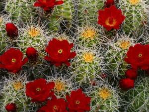 Flores de cactus color rojo
